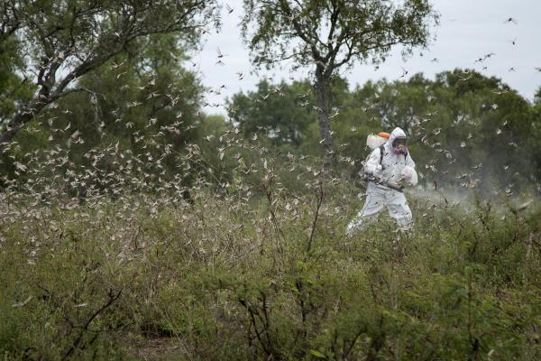 A worker tries to fumigate locusts in northern Argentina. Once they are adults who can fly, the locusts are much harder to control.