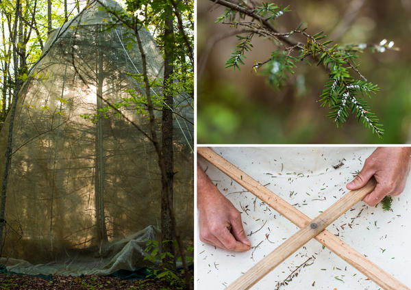 (Left) A hemlock tree is covered in a net to monitor and breed a predator beetle that the park service is using to fight off the adelgid. (Top) The hemlock woolly adelgid gets its name for the white woolly clusters it makes on a hemlock tree's branch. (Bottom) Jesse Webster, head of the Great Smoky Mountain National Park vegetation crew, collects samples to monitor predator beetle populations.