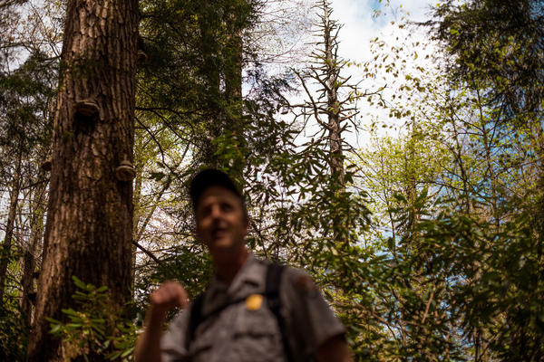 Not every tree can be saved. The tree behind Jesse Webster is the first hemlock he ever treated —and it died. But the old growth hemlock forest surrounding it is considered a success for the park service.