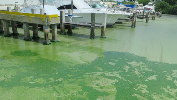 The blue-green algae is called cyanobacteria. It can release toxins that affect the liver and nervous system.