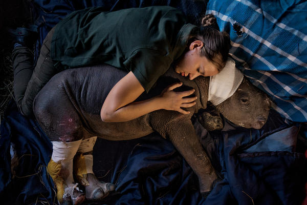 Lulah's mother was killed by poachers in Kruger National Park. She now lives at Care for Wild Africa, a sanctuary in Mpumalanga Province specializing in rhinos. Staff member Dorota Ladosz lives with her full-time and comforts her after surgery to repair wounds inflicted by hyenas before her rescue.