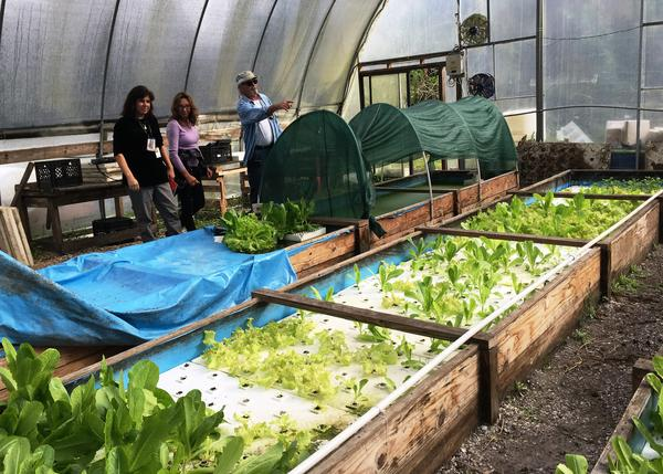 Inside the greenhouse, a pool filled with blue tilapia is linked via plumbing to water filtration systems and growing beds for plants and duckweed that is fed to the fish.
