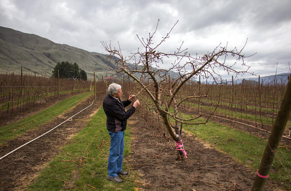 Patent holder Bruce Barritt stops by the mother of all Cosmic Crisp trees. Cosmic Crisp was the result of breeding project at Washington State University in the 1990s.