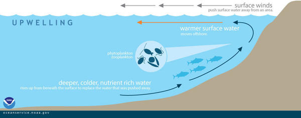 "During upwelling, wind-displaced surface waters are replaced by cold, nutrient-rich water that ""wells up"" from below."