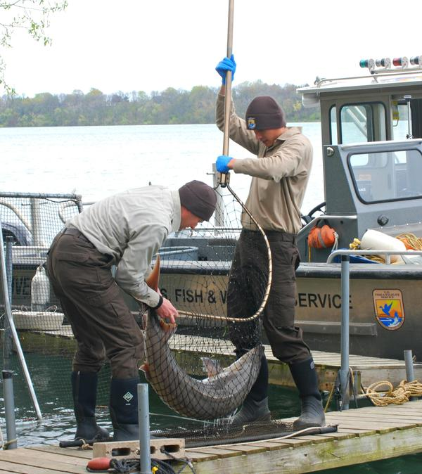 by ANGELICA A. MORRISON / USFWS biologists prepare to examine a lake sturgeon at the Niagara River just outside of Lake Ontario in NYS.