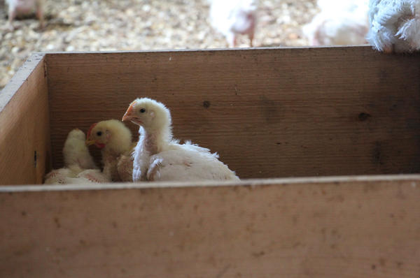 "Young chickens hide inside a wooden box, one of the ""enrichments"" that Perdue is adding to its chicken houses."