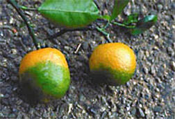 Oranges infected with citrus greening