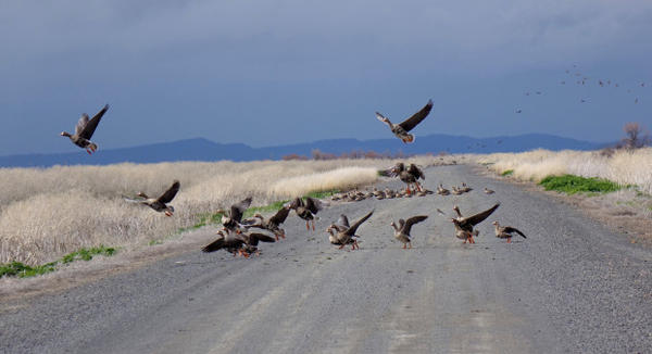 <p>White fronted geese take flight on Lower Klamath National Wildlife Refuge.</p>