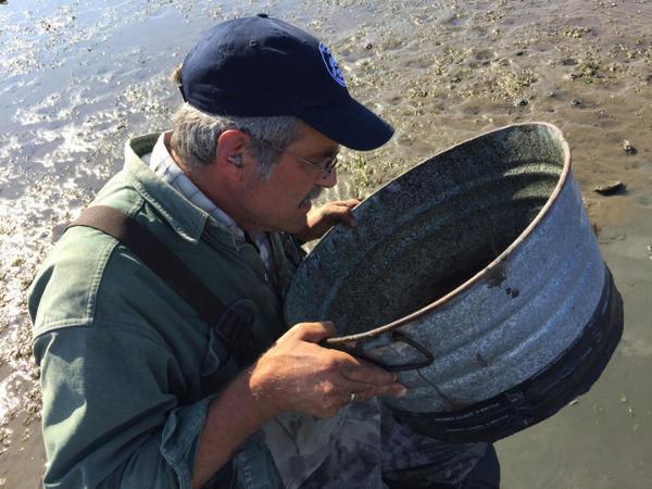 <p>Brett Dumbauld checks a sieve for mud shrimp babies.</p>