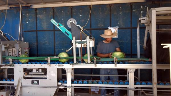 A migrant worker for G Farms checks watermelons before sale. (Courtesy of Mike King)