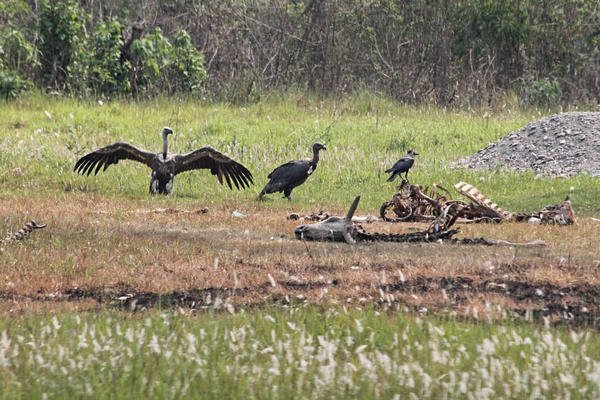 "Vulture ""restaurants"" in Nepal provide safe food for the endangered species of vultures there."