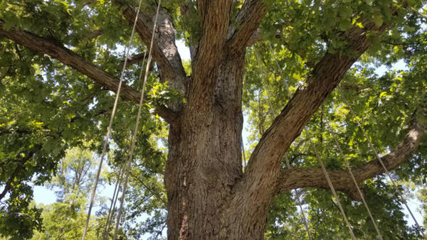 "An oak tree at the U.S. National Arboretum set up for a ""fun climb"" — it's smaller than the trees used in the competitive climbs. (Carmel Delshad/WAMU)"