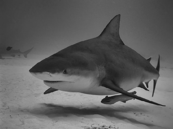 Scientists are investigating the possibility of bull shark breeding grounds off the coast of NC.