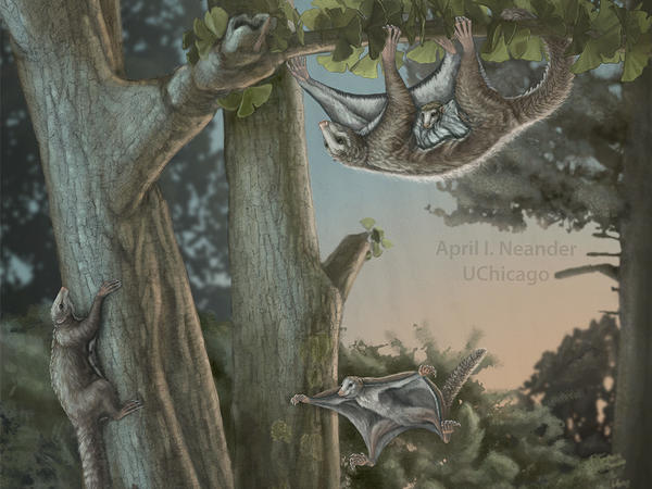 An artist's rendition of Maiopatagium in Jurassic forest.