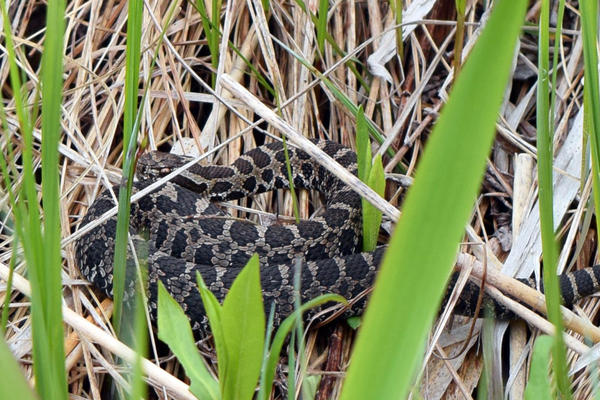 The massasauga rattlesnake is one of the animals the DNR hopes to gather information about through its new app for citizen scientists.