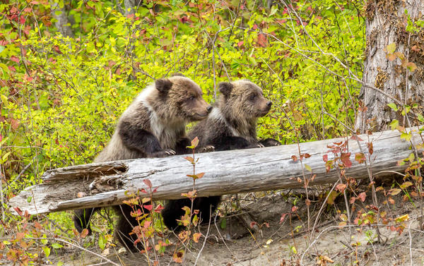 Grizzly bear cubs follow their mother in British Columbia, Canada, in 2014. The province has banned trophy hunting of grizzlies beginning at the end of November.