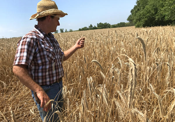 """Wade Dooley, in Albion, Iowa, uses less fertilizer than most farmers because he grows rye and alfalfa, along with corn and soybeans. """"This field [of rye] has not been fertilized at all,"""" he says."""