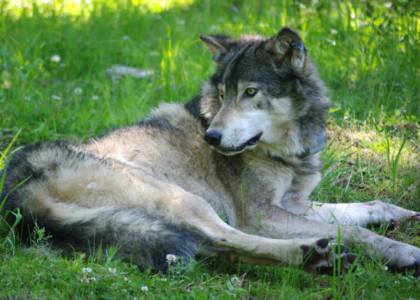A panel of five experts says the U.S. Fish and Wildlife Service didn't use the best available science when it proposed dropping protection for gray wolves.
