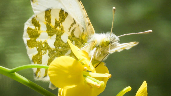 <p>The island marble is considered one of the rarest butterflies in North America, only found in a small section of the San Juan Island National Historical Park.</p>
