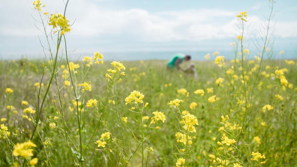 <p>With its native host plant under threat by sea level rise, the island marble is relying on non-native plants to survive. Amy Lambert has been planting field mustard in the prairies of American Camp and monitoring survival rates for eggs and caterpillars.</p>