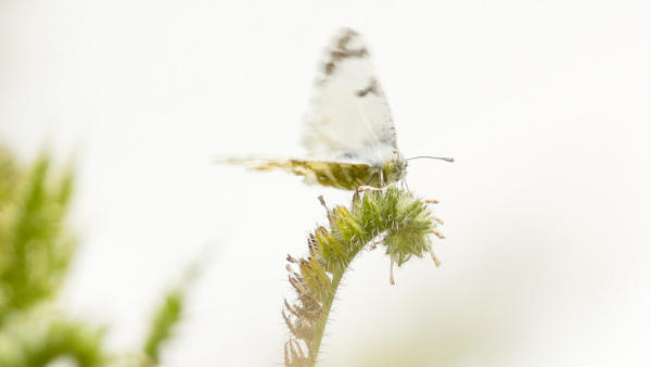 <p>The island marble, considered one of the rarest butterflies in North America, only exists in a small section of the San Juan Island National Historical Park.</p>