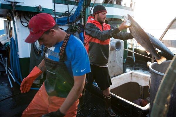<p>Nathan Cultee, right, and Nicholas Cooke, left, unload Atlantic salmon aboard the fishing vessel Marathon outside Home Port Seafoods on Tuesday in Bellingham, Washington.</p>