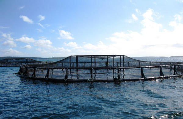 <p>A net pen for farmed Atlantic salmon in Maine.</p>
