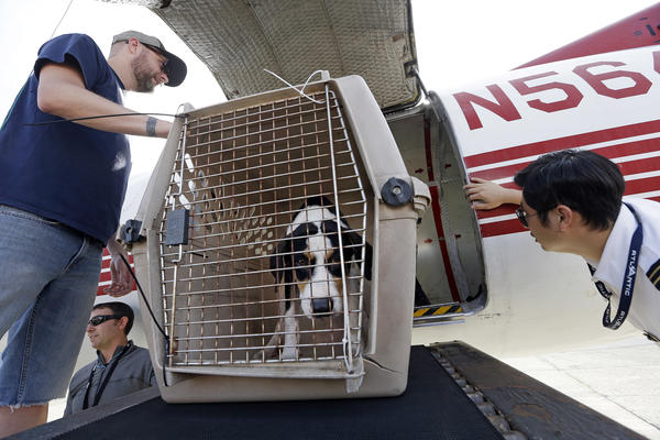 Volunteers unload one of 35 dogs flown from Texas shelters to make space for pets rescued in the Hurricane Harvey aftermath at Boeing Field in Seattle. Dogs are being transferred to Seattle-area shelters so animals displaced from the flooding can be cared for in Texas until they can be reunited with their families there.