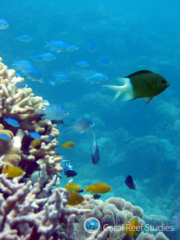 The spiny chromis damselfish, <em>Acanthochromis polyachantus</em>, in its natural environment.