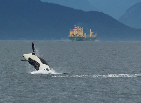 Critical habitat for endangered southern resident killer whales overlaps with busy shipping lanes in the Salish Sea.