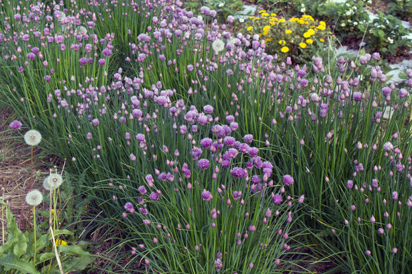 Chives bloom at the Student Organic Farm at Iowa State University. Sales of organic produce continue to rise, according to the Organic Trade Association.