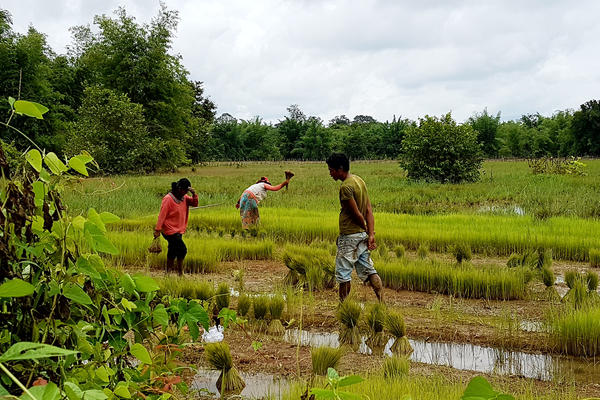 Villagers plant rice in Srekor village. Most residents of the village — which will be submerged when a new dam starts up — have been relocated.