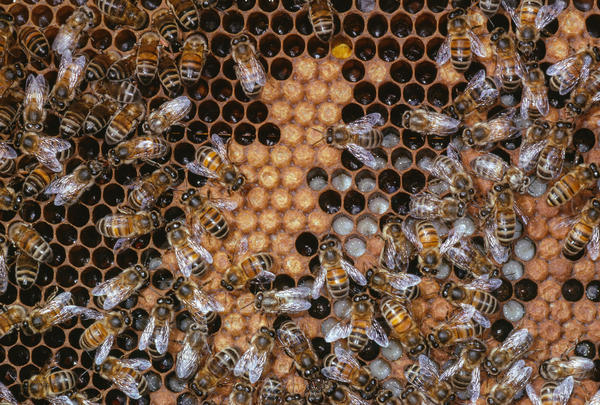 Honeybee <em>(Apis mellifera)</em> workers tending larvae on brood comb. The larvae that will grow up to be workers have a plant-based diet of a mix of honey and pollen.