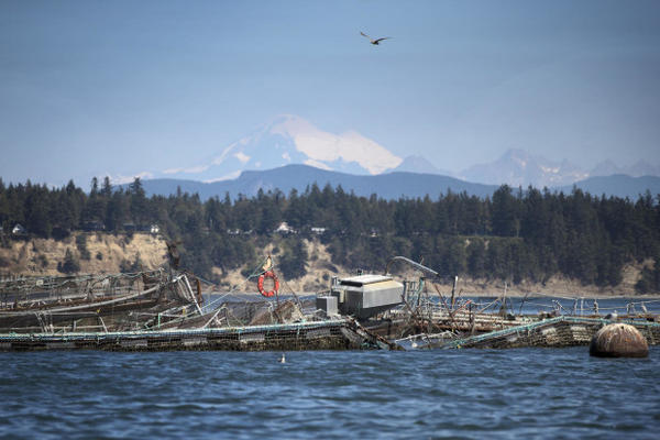 <p>A damaged net pen at Cooke Aquaculture's facility on Cypress Island is shown on Tuesday, August 22, 2017. </p>