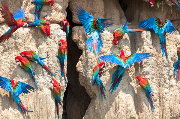 Parrots at an exposed cliff in Peru, where they gather to eat clay, which is richer in sodium than plants in the area.
