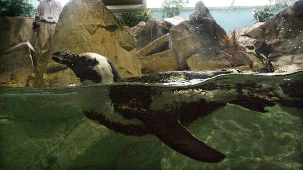 A penguin rescued in the aftermath of Hurricane Katrina swims in its old habitat in the Audubon Aquarium of the Americas on May 22, 2006, after returning to New Orleans following an eight-month refuge in California.