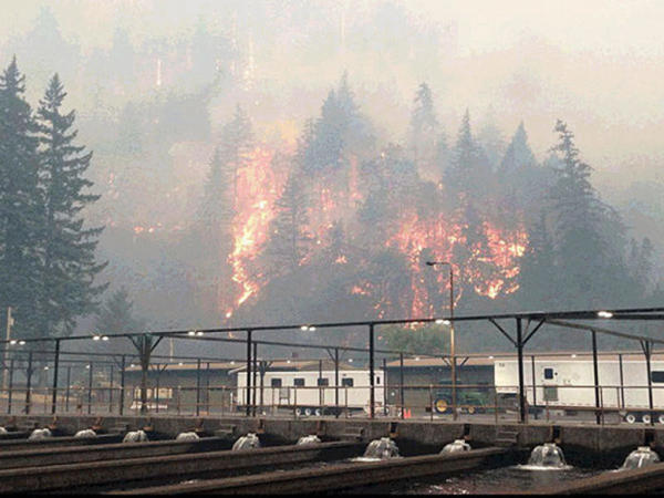 <p>The Eagle Creek Fire as seen from the Cascade Locks Hatchery. To keep hatchery fall chinook from dying because of the fire, Oregon officials released them early.</p>