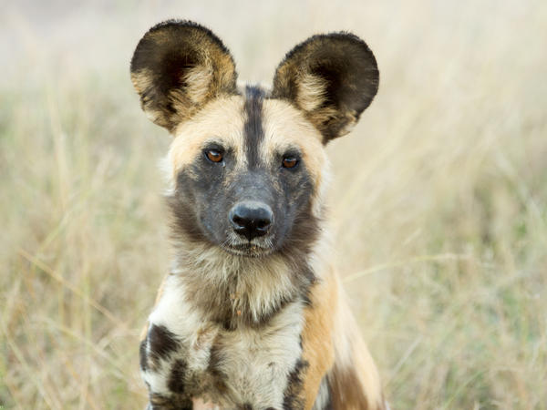 Look deeply into those soulful eyes ... but watch out for that nose. When it comes time to decide whether to leave, this African wild dog may be trying to say more to its pack with the latter.