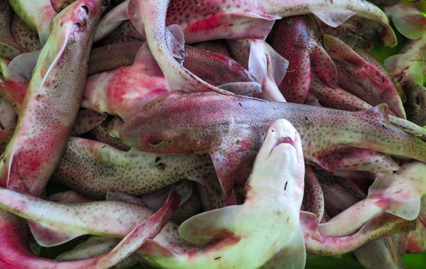 Roussette, a type of dogfish, is packed in ice for sale at Boulogne, in the northern Calais region. Boulogne is France's No. 1 fishing port, where roughly 7,000 work in the industry.