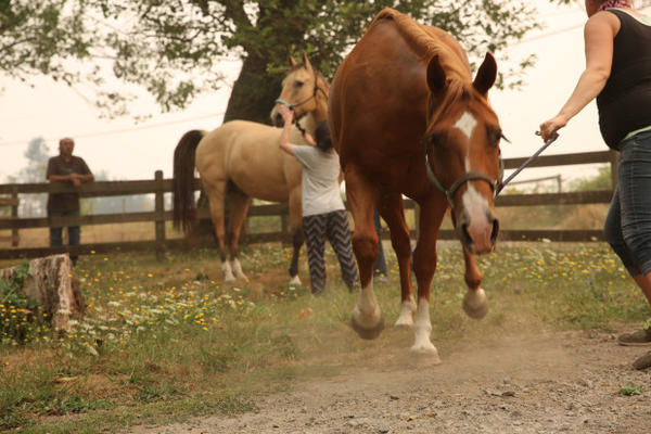 <p>Horses and other livestock are being evacuated from the Eagle Creek Fire in Oregon.</p>