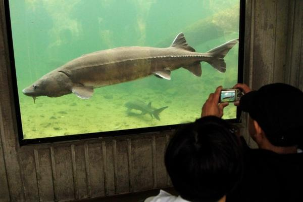 "<p>Tourists photograph ""Herman the Sturgeon"" in the sturgeon viewing tank at Bonneville Fish Hatchery near Cascade Locks, Oregon, Monday, May, 9, 2011.</p>"