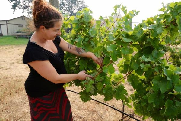 <p>Jocelyn Bentley-Prestwich, the marketing manager at Cathedral Ridge Winery, tests the ripeness of the vineyard's Riesling grapes.</p>
