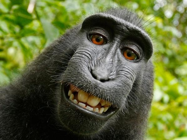Naruto, a macaque, took this self-portrait in 2011 with a camera owned by photographer David Slater. The photo has been the subject of a years-long copyright battle.