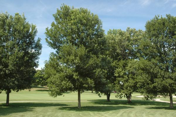 The green ash tree <em>(Fraxinus pennsylvanica)</em> is now listed as critically endangered.