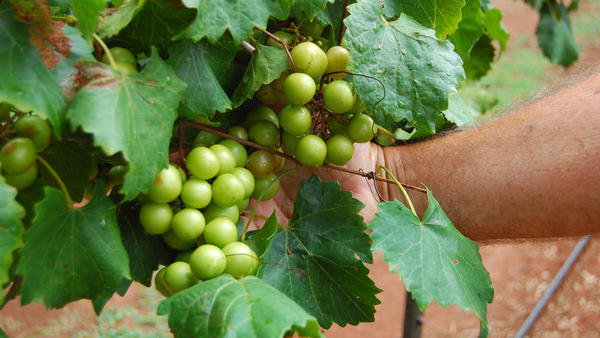 Muscadines can range in color from bronze to dark purple.