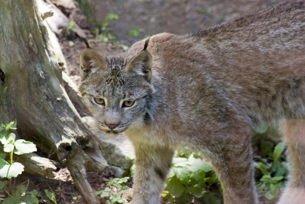 <p>Canada lynx</p>
