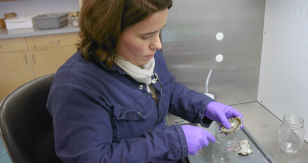 <p>Shellfish Biologist Sarah Dudas, working with an oyster specimen at her Vancouver Island University lab.</p>