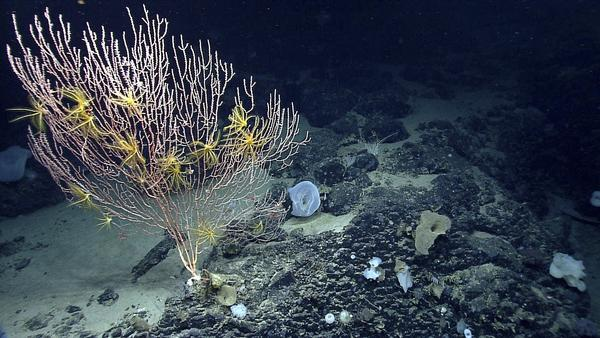 This undated file photo released by the National Oceanic and Atmospheric Administration made during the Northeast U.S. Canyons Expedition 2013, shows corals on Mytilus Seamount off the coast of New England in the North Atlantic Ocean.