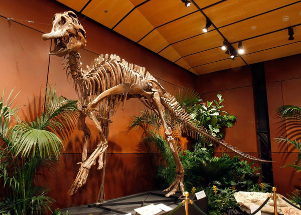 A duck-billed dinosaur skeleton, which the researchers think ate crustaceans, on display in 2009 at the Venetian Resort Hotel Casino in Las Vegas, Nevada.