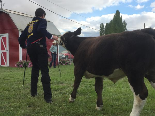 15-year-old Sophomore Danieal Gady shows his cattle at the Southeast Spokane County Fair over the weekend.